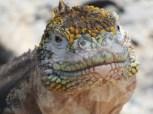 iguana8