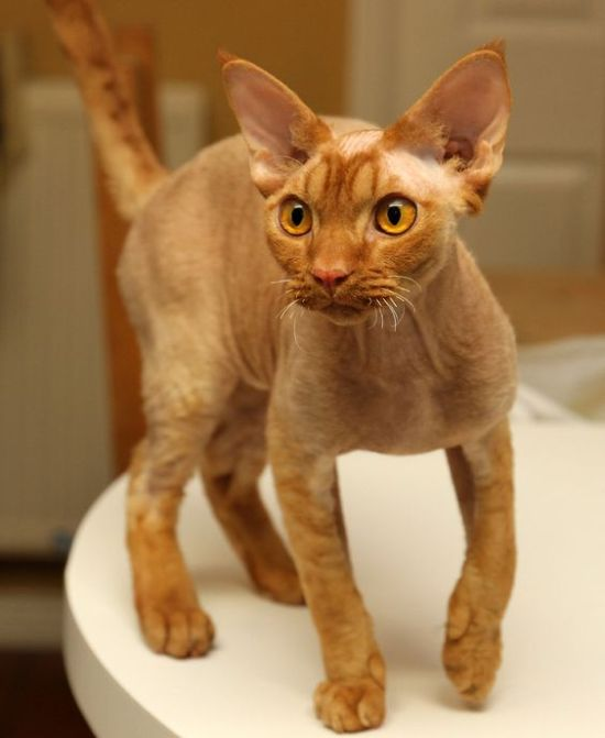 The Best Cat Breeds That You Will Want According To Your Personality