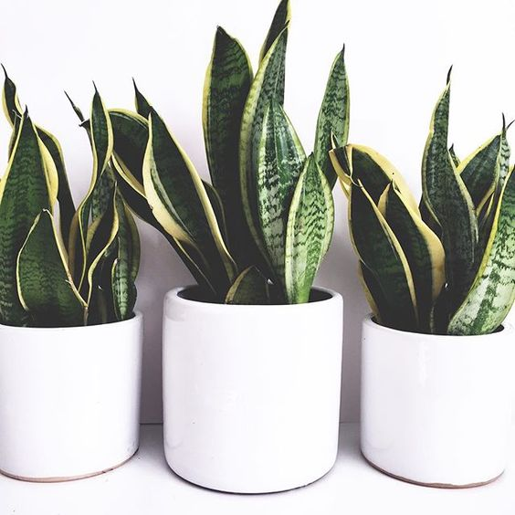 snake indoor plant ideas