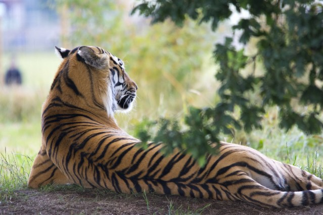 Tiger reserves in Rajasthan, not to be missed out (1)