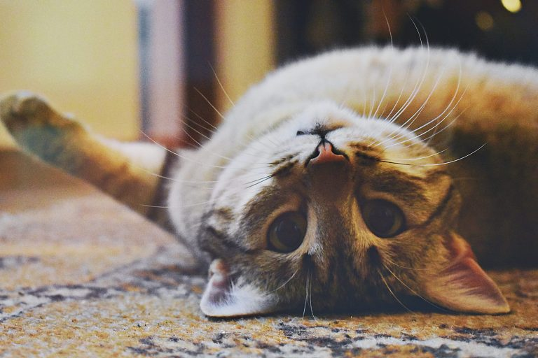 18 point checklist to know if your cat loves you