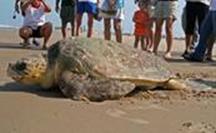 Momma Turtle Heading back to sea