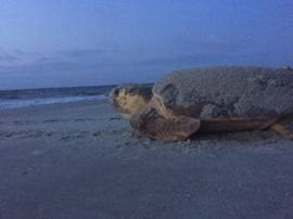 Hilton Head Sea Turtles2