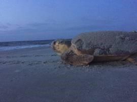 Hilton Head Sea Turtles2