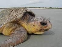 Turtle20172