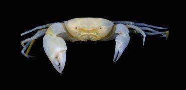 Una nueva especie de cangrejo llevará los nombres de Harry Potter y Severus Snape