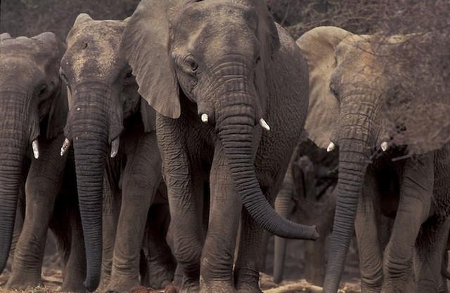 Grandes migrações de animais 11