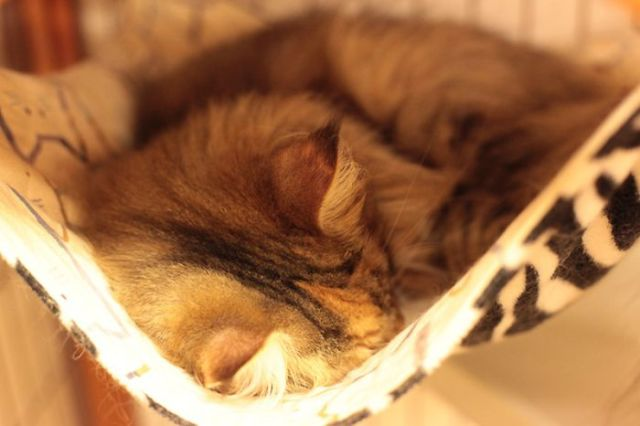 Restaurantes japoneses com gatos por todos os lados