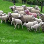 In Defense of Gay Sheep