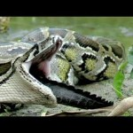Python Eats Florida Alligator