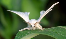 The silkworm moth never flies because its body is too heavy.