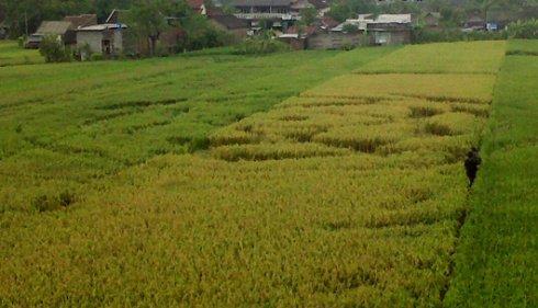 Jejak UFO (Crop Circle) di Bantul