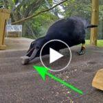 A holló egy botot figyel, de 8 lépéssel később?  A tudósokat csak csodálkoztak a látványon