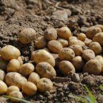 Így termelj 1 négyzetméternyi területen 100 kg burgonyát!