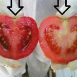 Vigyázz! Mérgeket eszel! Így tudod nagyon gyorsan beazonosítani a gén-manipulált paradicsomot!