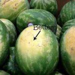 5 tipp a tökéletes görögdinnye kiválasztásához