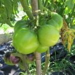 Što me naučio jedan paradajz?