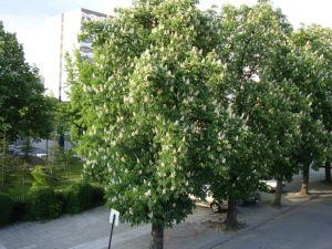 Пловдив. Каштаны цветут.