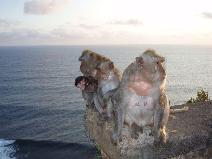 Бали. Семейство обезьян.
