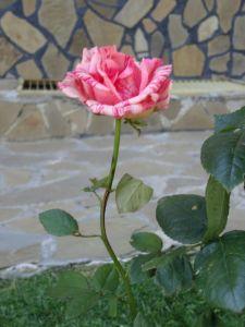 Святой Влас. Розы.