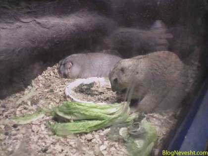 سنجابهای زیرزمینی چاق! که حدیث گیر داده از اینا می خوام!