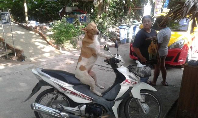 dog driver