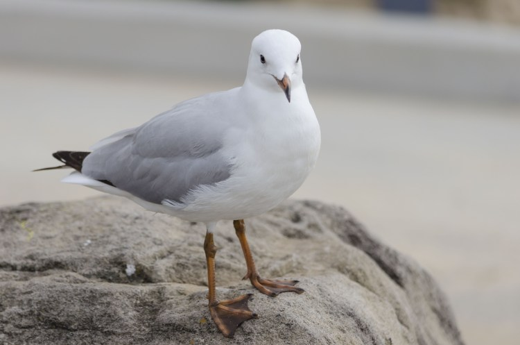 Seagull at beach