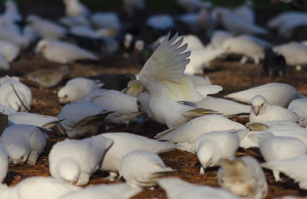 Corella, corellas, birds, bird, feed, eating, fly, wings, pigeon
