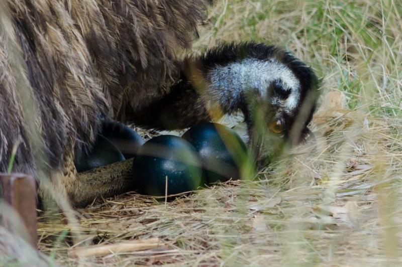Emu, eggs, Symbio Zoo, nest