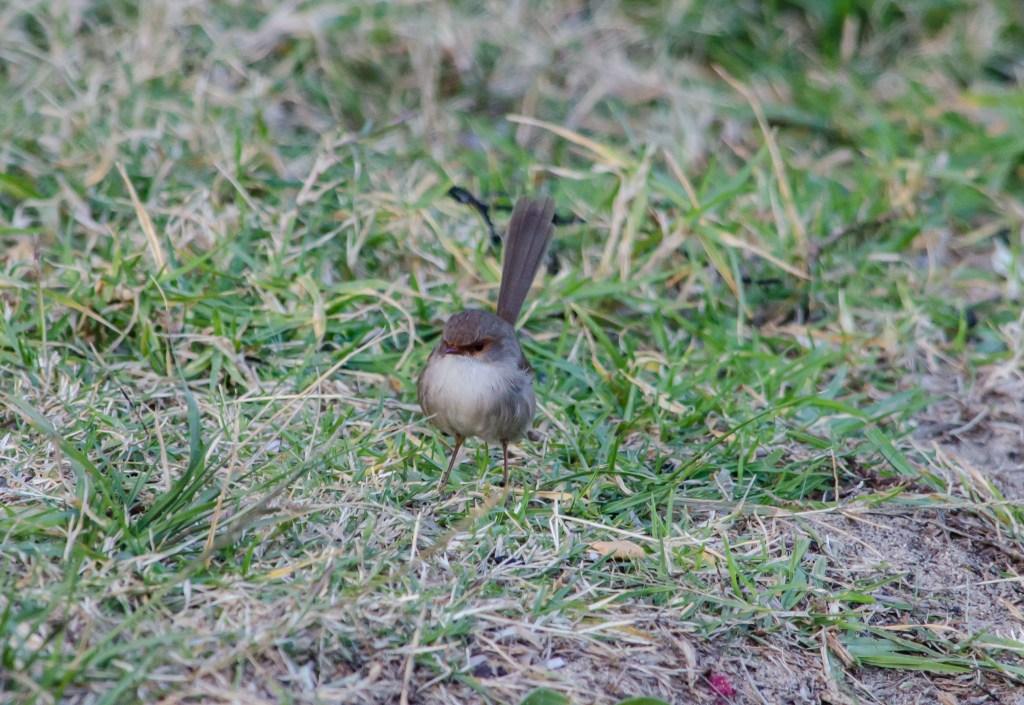My Sunday Photo Tiny Birds Fairy Wren