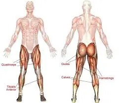 Leg Muscles Group