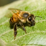 Africanized Honeybee Scout