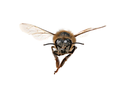 Honey Bee Looking Right At You