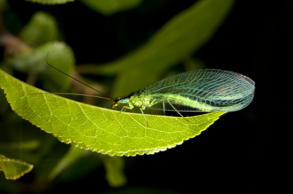 Green_Lacewing_On_Leaf