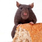 Rat Bread
