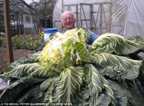 世界最大花椰菜