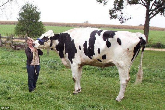 世界最高的牛