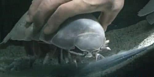 大王具足蟲