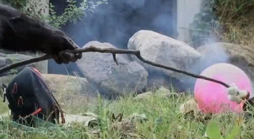 黑猩猩用火柴點火烤蜀葵