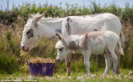 英國超級迷你驢「小不點」