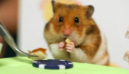小倉鼠挑戰日本大胃王小林尊