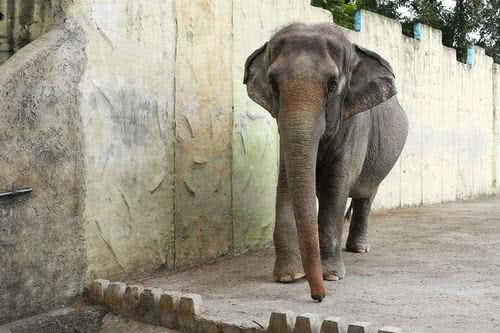 全球最孤單的大象