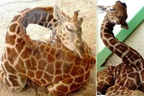 長頸鹿罕見且奇特的睡姿
