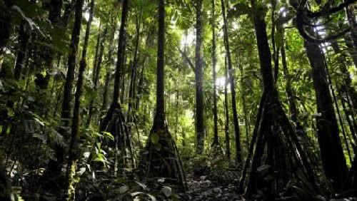 厄瓜多爾會走路的棕櫚樹
