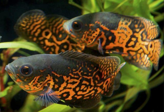 8 Jenis Ikan Oscar Tercantik Yang Paling Banyak Dicari Mana Favoritmu