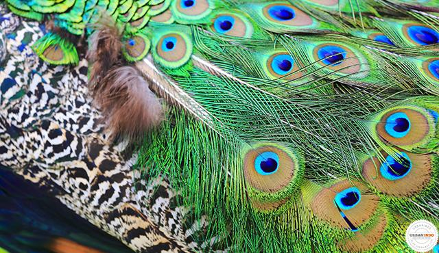 620 Gambar Burung Merak Simple Gratis Terbaik