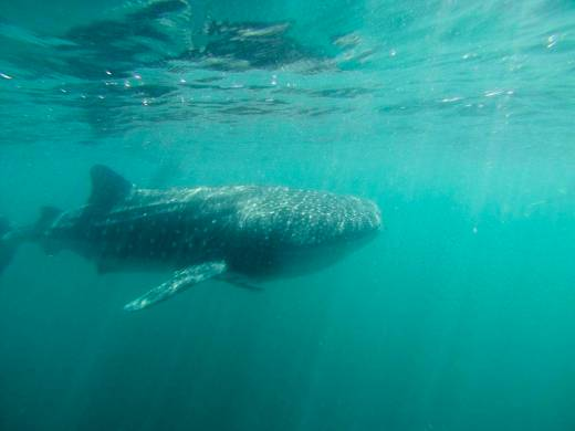 Whale shark from front