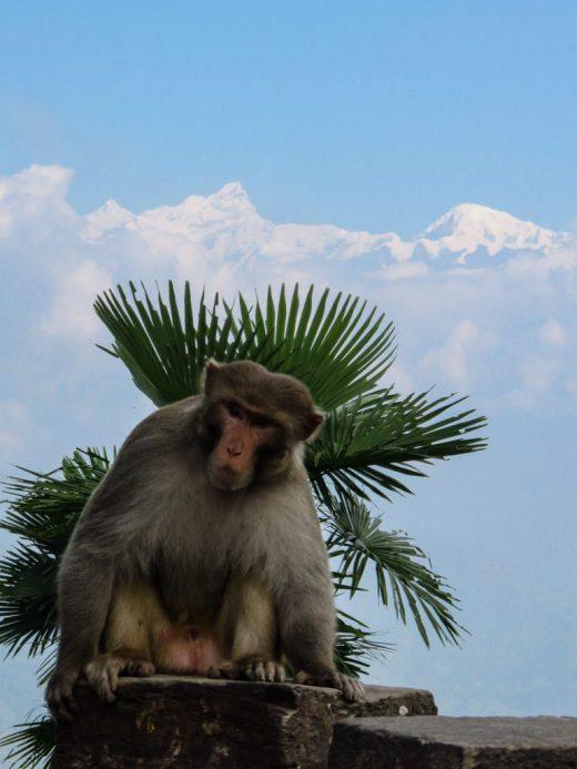 Nepal Monkey, green hat, mountain