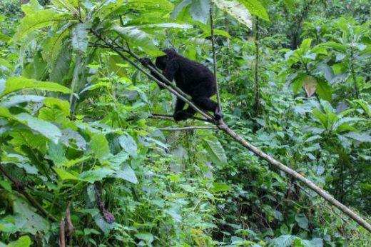 Uganda Gorilla Trek Africa