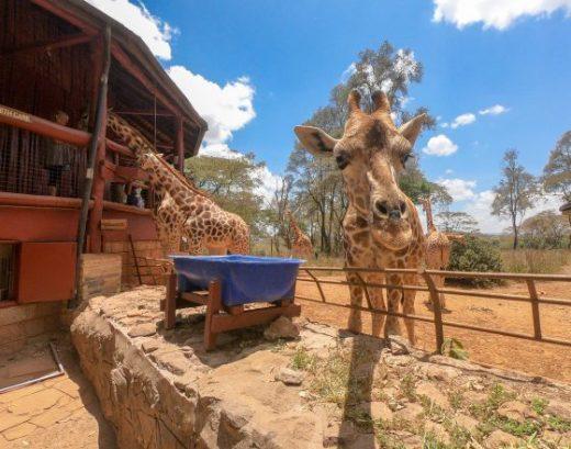 Giraffe Centre, Nairobi Kenya